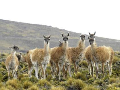 patagonia-wildlife-guanacos_2794_600x450
